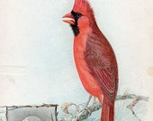 VICTORIAN TRADE CARD, The American Singer Series, Cardinal, curated by junqueTrunque
