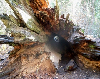 Eye of the Sequoia
