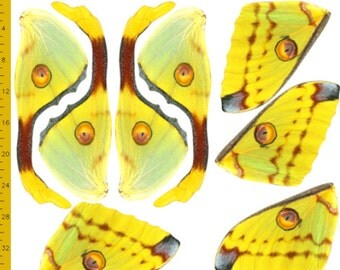 Medium Comet Moth Moth Fabric for Halloween Costume Wings, Madagascan Moon Moth, 100% Cotton