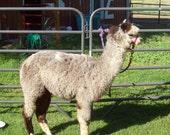 Raw Alpaca Fiber, Light Rose Gray, 2.3 lbs, Harsh winter raised