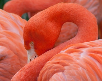 Flamingo Portrait-8x10-Color Fine Art Photo-Certificate of Authenticity-Signed by Artist
