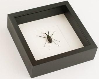 Real Framed Charles Darwin Beetle Chiasognathus granti