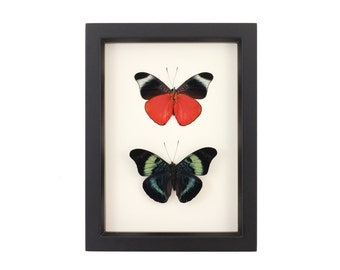 Real Framed Butterfly Red Flasher PANACEA PROLA