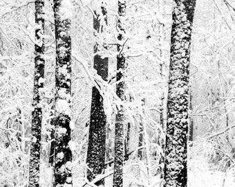 Black and White, Winter Trees, Snow, Forest, Nature Photography, 8X10 Mat, Ready to Frame