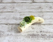 Succulents Echeveria on a branch for dollhouse in 1:12 scale