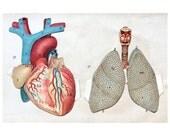 1902 HEART & LUNGS PRINT lithograph human anatomy pop up print original antique medical interactive 3D chart -