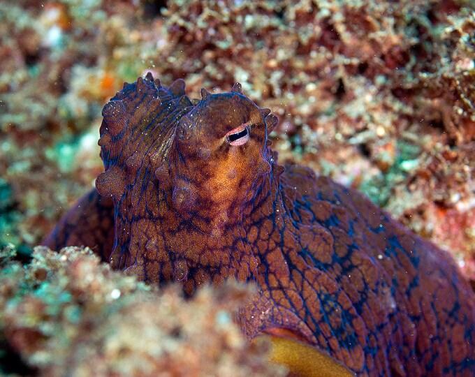 Octopus Art ~ Octopus Print ~ Underwater Photography Marine Biology