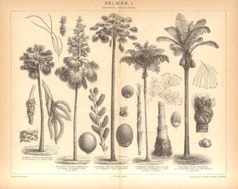 1896 Palm Trees, Palmyra Palm, Talipot Palm, Moriche Palm, Solitary Fishtail Palm, Sugar Palm Original Antique Engraving
