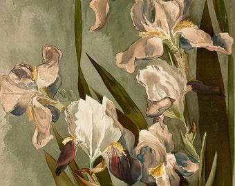 White Iris vintage flower painting illustration Digital Download