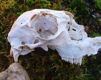 Real Weathered Sheep Skull