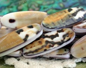"""8"""" Strand Tiger Conus Shell Beads, Undyed Shell Beads, Double Sided Shell Beads SHL-013"""