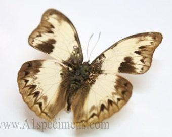 Cymothoe Indamora (The Indamora Glider) Butterfly Specimen A1