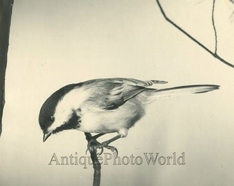 Bullfinch bird vintage art photo