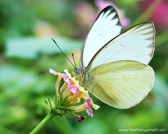 Great Southern White, Butterfly Macro, Lantana Flower, Fine Art Photography Print, 8x10