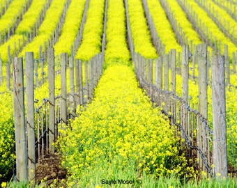 Napa Valley Spring Vineyard 2 with Mustard Flowers Fine Art Photograph, Wall Art, Home Decor Photo, Vineyard Image, Nature Print, Photo Gift