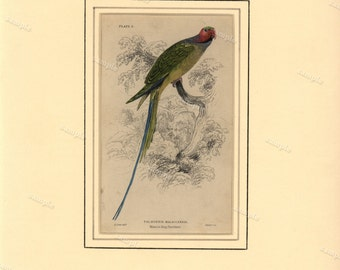 19th century first edition Jardine Original Antique  Hand Colored Natural History Matted print of Parrot- Malacca  Ring Parrakeet