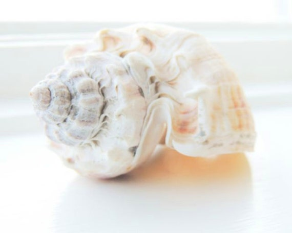 peach sea shells scroll - photo #1