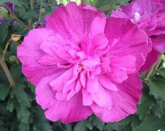 Raspberry Smoothie™ Hibiscus ( Althea ) - Rose Of Sharon - Live Plant - 1 Gallon Pot