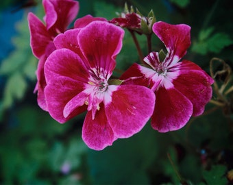 Pink Bloom Print - A4