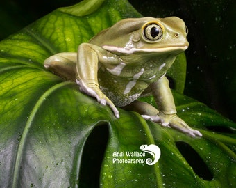 Large print of a Waxy monkey tree frog