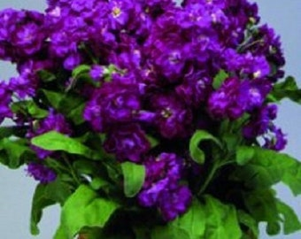 50+ Purple Stock Matthiola Evening or Night Scented / Annual Flower Seeds