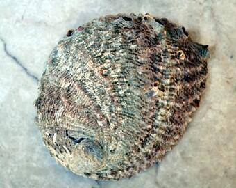 "Pink Abalone Seashell (5-6"") - Haliotis Corrugata"