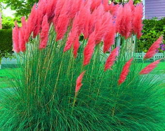 Ornamental grass etsy for Fast growing tall grass