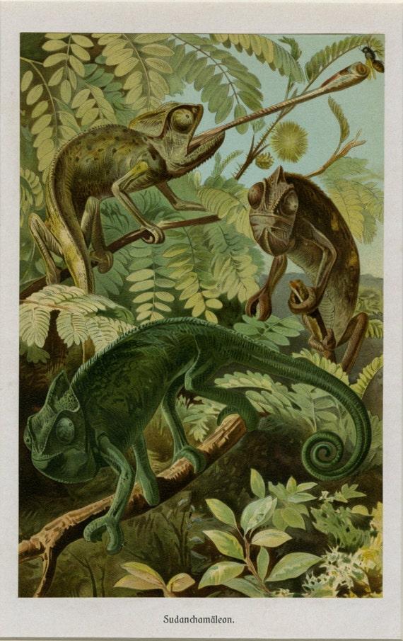 Vintage Chameleon Lizard Art Print C 1900 Natural History