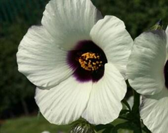 25 Seeds Hibiscus Amethyst * White/Purple Perennial!!