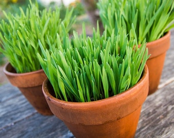 Certified Organic Red Wheatgrass (Catgrass) Berries, by the ounce, Perfect for Sprouting, Juicing, Smoothies, Cooking, and Cat Treats