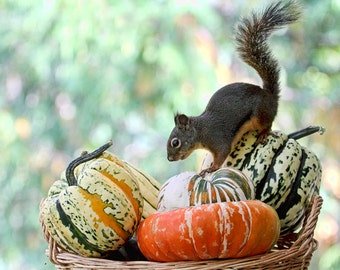 Autumn Decor, Squirrel Print, Fall Decor, Pumpkins, Squashes, Funny Squirrels, Vegetable Print, Autumn Print, Squirrel Photography