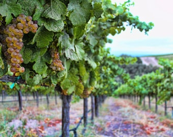Grapes Of Harvest, Vineyards, Grapevine, Wine, Central Coast, Paso Robles, California