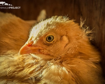 Pickles Chick, Farm Animal Rescue Chicken Portrait Photography