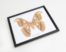 Moth, Real Butterfly, framed butterfly taxidermy, insect,specimen, Natural history,preserved insect, Attacus Atlas
