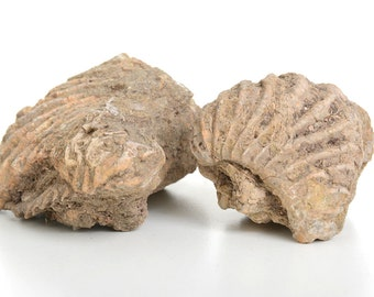 fossils, pair of fossil Ammonite,natural decor,fossilized Ammonite, science decor, science gift, gifts for scientists, scientist gift