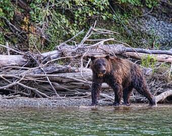 Stream Walker (Grizzly Bear)