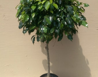 "Ficus Midnight Tree Plant in 10"" Pot - About 50"" tall - Very Nice!"