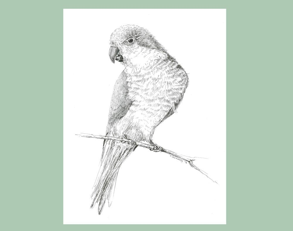 Quaker Parrot Sketch Pen And Ink Drawing Black And White