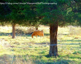 Cow in Field, Sunrise and Cow, Wildlife, Agriculture, Farm, New England Photography, Allen Pond Wildlife Sanctuary, Westport, Massachuesetts