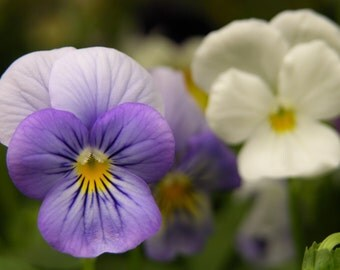 Purple and White Pansies Photograph #119