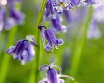 bluebell greeting card, bluebells photo blank greeting card, macro bluebells from original photograph by R&M Photography