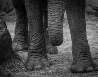 Elephant Feet and Trunk, Black and White Nature Photographic Print