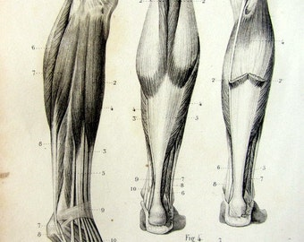 1846 Vintage ANATOMY MUSCLES print, antique anterior and posterior muscles of leg and foot engraving, muscular system tendons Myology.