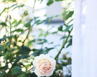 Window Garden Rose Photography Print