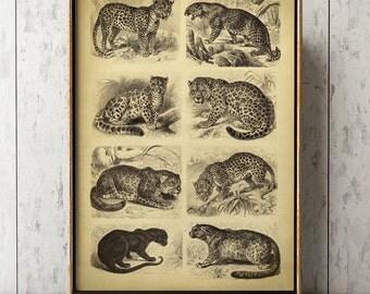 Wild cats poster art print, wildcats print, tiger, panther, cheetah, feline art, big cats poster, zoology print, wild animals art
