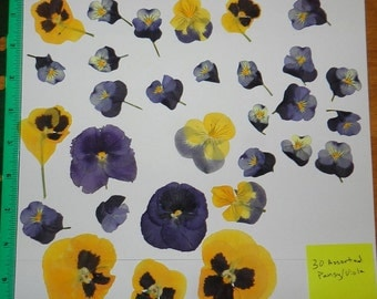 Real Pressed Dried Flowers 30 Pansy or Viola in assorted sizes and Colors Pressed Flowers Ready for your project Craft supply