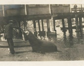 vintage photo 1909 MAn Feeds Sealion at Pier CAtalina Island Avalon California