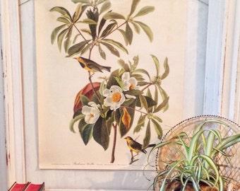 vintage Audubon bird print - Bachman's Warbler