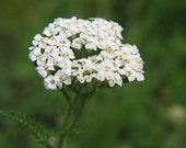 White Yarrow Seeds (Achillea millefolium)