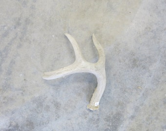 Deer Antler Shed Dog Chew Craft Photography Supply Home Decor Taxidermy Oddity Natural Charm from Montana for the Man Cave 9 1/4 inches #2